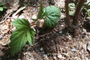 エビガライチゴ新芽